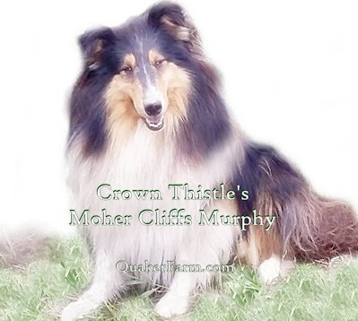 Tri Color Collie Murphy