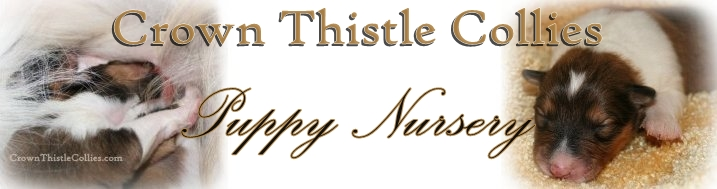 Crown Thistle Collie Puppy Nursery Michigan
