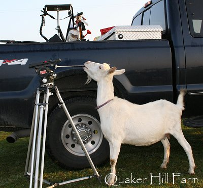 Dairy goat at Animal Planet filming
