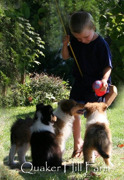 Collie pups playing